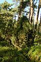 Wacholder im Wippinger Wald
