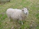 Weibliches Schaf mit Hörnern