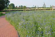 Blumenwiese im Pfarrgarten Wippingen