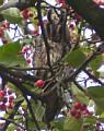 Waldohreulen auf dem Wippinger Schulhof