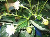 Ernte 2009 Erdbeeren