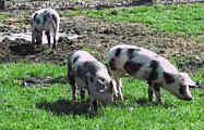 Schweine in der Suhle