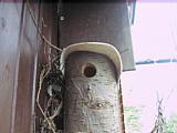 Nestbau einer Amsel