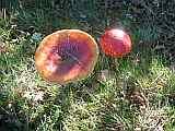 Pilze in Wippingen 2011