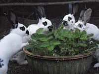 Kaninchen am Erdbeerstrauch