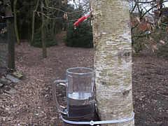 Birkenwasser zapfen