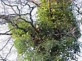 Eule im Schlafbaum