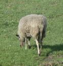 verirrtes Schaf