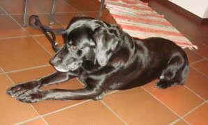 Labrador-Retriever Ben