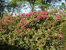 Rhododendron oder Alpenrose