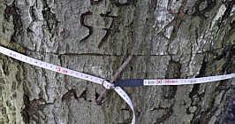 Zweite Buche: 310 cm