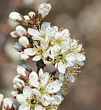Schlehenblüte - verschiedene Stadien Anfang April in der Eifel / Quelle Wikipedia, Autor Smartbyte