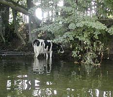 Kuh im Schatten