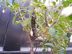 Mittlerer Weinschwärmer (Deilephila elpenor)