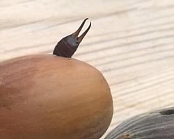 Der Ohrenkneifer in einer Haselnuss