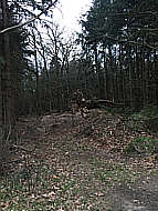 Abgeholzte Buche
