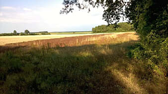 Feld mit Sauerampfer