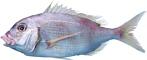 Tilapia-Fisch