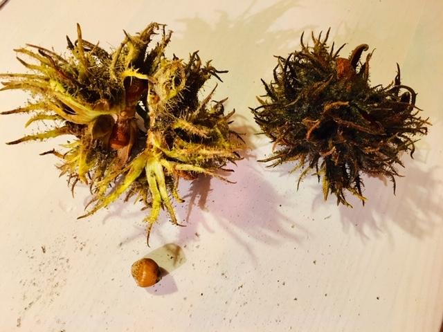 Fruchtstände des Baumhasels