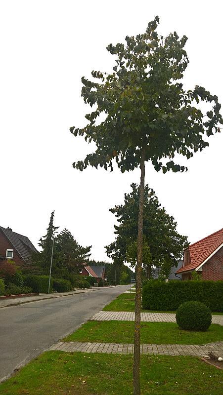 Baumhasel in der Schützenstraße