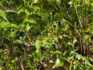Blaubeeren im Naturschutzgebiet
