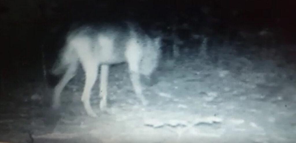Wolf im Wippinger Wald