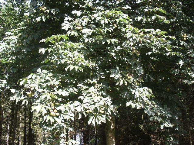 Kastanie im September noch mit Blättern