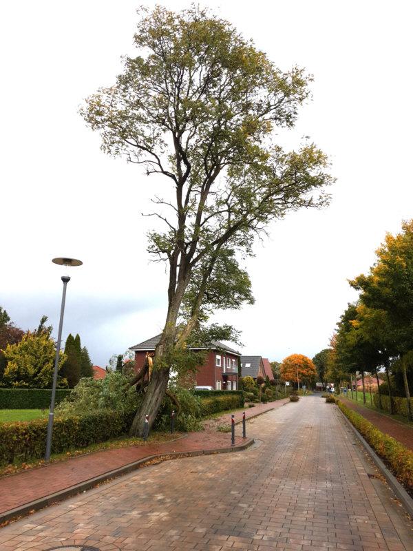 Robinie (Scheinakazie) in der Schulstraße nach dem Herbststurm am 21.10.2021